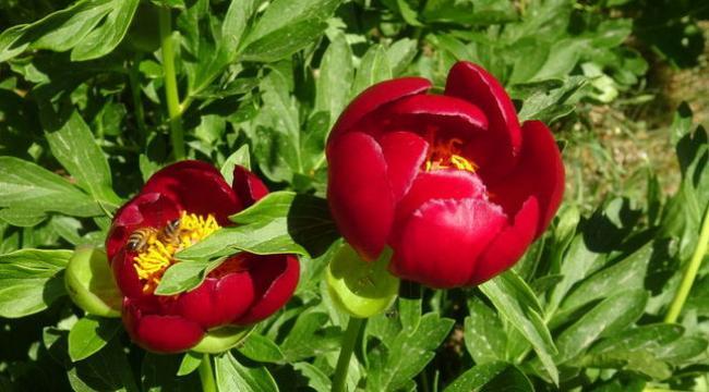 Koruma altına alınan kızıl lale çiçeğini koparanlara 80 bin 465 TL ceza verilecek