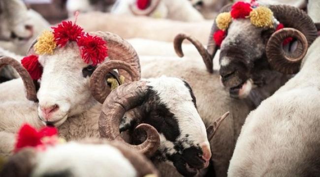 2021 koyun, koç, dana kurbanlık fiyatları ne kadar? 2021 büyükbaş ve küçükbaş kurban fiyatları