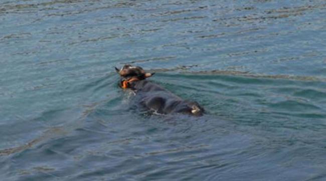Kasımpaşa'da denize atlayan kurbanlık dana Balat sahilinde yakalandı
